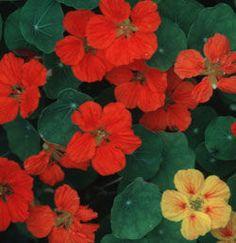 Nasturtium: How to Plant, Grow, and Care for Nasturium Flowers