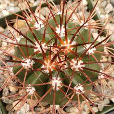 Items similar to Melocactus azureus ferreophilus Cactus Cacti Real Succulent Live Plant on Etsy Root System, Unique Plants, Live Plants, Planting Succulents, Cactus, Note, Shape, Business, Flowers