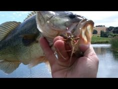 Fat Topwater Bass on the Lunker Lizard - Pond Bass Fishing