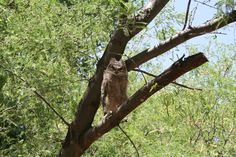 A juvenile great horned owl spotted at Tanque Verde Ranch http://tanqueverderanch.com/