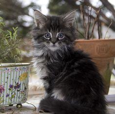 My little Maine coon boy cat.  So sweet!