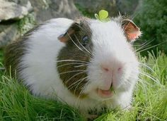 Breathtaking 120+ Funny Guinea Pig Pictures https://meowlogy.com/2017/03/30/120-funny-guinea-pig-pictures/ Guinea pigs rarely require bathing. Should you be interested in having a guinea pig, the ideal thing to do is to adopt. In case you are looking at a