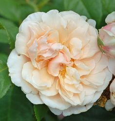 Shrub Rose: Rosa 'Eifelzauber' (Germany, 2008)