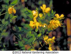 Senna Corymbosa, Cassia, is a fall bloomer and butterfly host plant for Cloudless Sulphur and Sleepy Orange.