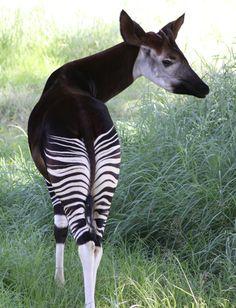 El okapi (Okapia johnstoni) es una especie de mamífero artiodáctilo de la familia Giraffidae. Es el pariente vivo más próximo a la jirafa. Se le considera a veces un fósil viviente por su parecido con los primeros jiráfidos que aparecieron en el Mioceno. Vive en las tupidas selvas del norte de la República Democrática del Congo entre los ríos Uelle, Ituri y en las selvas de Aruwimi.