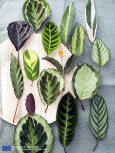 Calathea, A chaque mois sa plante - septembre 2014, maplantemonbonheur.fr
