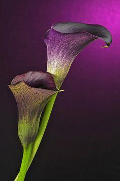Calla Lilies  http://e-silkflowerdepot.com/ ~~ love... love