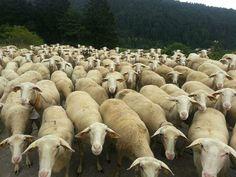 Sheeps in Slovakia