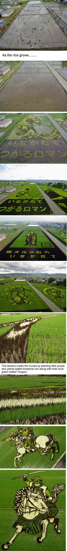 Rice fields in Japan, planted with different colored rice plants. This beats the corn field murals any day!