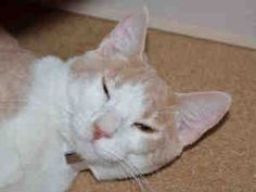 TOMMY is an adoptable Domestic Short Hair Cat in Martinez, CA.  ...