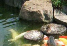 Here. Baby duck feeding fish. Now you have seen everything.