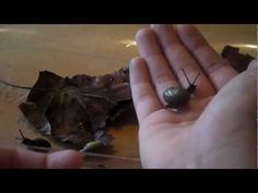 The Care and Keeping of Land Snails - Part Two