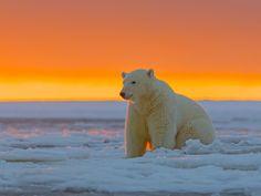 1600x1200 Wallpaper polar bear, alaska, snow