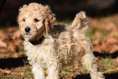 Crockett Doodles - Family Raised Doodle Puppies for Sale Mini Goldendoodle Puppies, Bernedoodle Puppy, Chihuahua Puppies, Labradoodle, Maltipoo, Small Family Dogs, Best Dogs For Families, Puppies For Sale, Dogs And Puppies