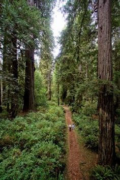 Cathedral of Trees in Prairie Creek Redwoods State Park; Hikes & Trails in the Redwoods, Humboldt County, California