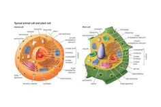 Biology Pictures: Plant Cell Diagram | Homeschool Helps ...