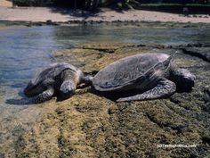 Green Sea Turtles (Chelonia mydas) basking at Puako, Hawaii - photo by B N Sullivan for TheRightBlue.com