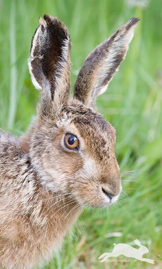 Brown Hare, Lepus europaeus | Drumimages.co.uk