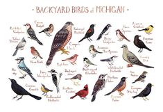 This watercolor painting features 25 Backyard Birds of Michigan as a field guide chart. It features the following birds:  American Crow American
