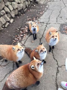 "awwww-cute: ""Hungry hungry foxes """