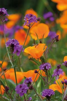 Beautiful Purple Flowers (Care & Growing Tips) : Purple flowers are a great way to add interest to your yard or landscape. See some of our favorite purple garden flowers! Orange Flowers, Summer Flowers, Wild Flowers, Orange Poppy, Orange And Purple, Garden Cottage, Garden Beds, Garden Plants, Purple Garden