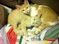 Melba and Cobbler: Domestic Short Hair - Orange And White, Cat; Savannah, GA