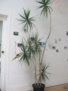 Yucca elephantipes | jardin | Pinterest