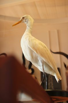 Taxidermy Cattle Egret. Mandibles, Cape Town.
