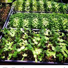Sunflower and tadish micros in the shade of summer. #microgreens #summer #shade #food by societygreens