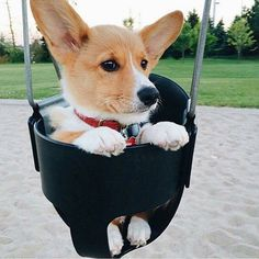 just swangin, Cute Corgi Puppy