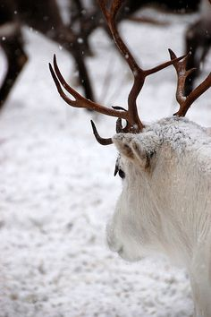 Reindeer / via Tiny White Daisy