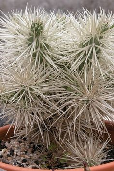 La Opuntia Tunicata es un arbusto arbolado con tallos cilíndricos de color verde y armados de espinas retrobarbadas (son una clase de espinas que, una vez que se clavan, cuesta mucho quitárselas). Estas espinas van forradas con una vaina que queda dentro de la piel al retirar el pico, lo que puede producir irritación de dicha piel y escozor. Al ser una planta tremendamente invasora, en algunos países, está controlado su cultivo por el daño que crea sobre las especies autóctonas.