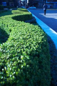 Hedges That Grow No Taller Than Two Feet