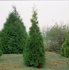 Abendländischer Lebensbaum 'Brabant' • Thuja occidentalis 'Brabant' • Pflanzen & Blumen • 99Roots.com