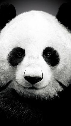 Panda bear                                                       …