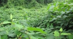Researchers find that invasives Japanese knotweed and kudzu make the soil release more carbon, and their spread contributes to climate change. But planting nitrogen fixers like beans can help the soil release less. Carbon Sequestration, Agricultural Land, Invasive Plants, Autism Speaks, Greenhouse Gases, Plant Species, Exotic Plants, Global Warming, Botany