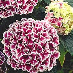 Harlequin Hydrangea - Huge, 9-in. flowers in stunning all-out bloom throughout summer. Full and fluffy, they load the foliage—a glorious display of color. Branches bow under the sheer weight of the blossoms. Adaptable size for landscaping—grows 3-5 ft. tall. Best planted in full sun to partial shade. Potted plants. Zones 5-9.