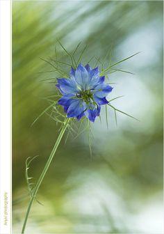 Nigella, Mists, Dandelion, Flora, Nature, Plant, Animaux, Nature Illustration, Off Grid