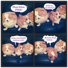 Corgi photo shoot! #squishable #corgi