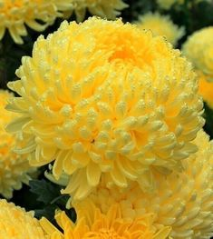 Одноклассники Fondant Flowers, Fabric Flowers, Paper Flowers, Amazing Flowers, Beautiful Roses, Beautiful Gardens, Yellow Chrysanthemum, Flowering Succulents, Corporate Flowers