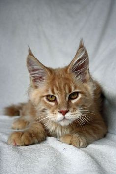 http://www.mainecoonguide.com/maine-coon-personality-traits/ #NorwegianForestCat