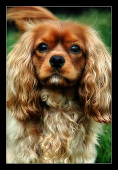 Cavalier, KING CHARLES SPANIEL- such a cute face and those ears are gorgeous.Wish my hair looked that good,lol!