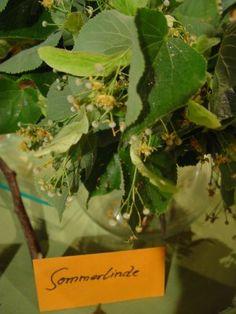 Rezept kalter Lindenblüten-Tee