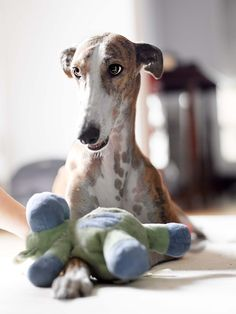 Cute greyhound with their toy.