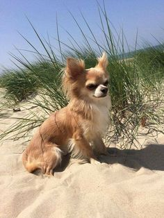 Effective Potty Training Chihuahua Consistency Is Key Ideas. Brilliant Potty Training Chihuahua Consistency Is Key Ideas. Chihuahua Love, Chihuahua Puppies, Cute Puppies, Cute Dogs, Dogs And Puppies, Chihuahuas, Long Haired Chihuahua, Doggies, Baby Animals
