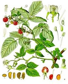 Information on the Medicinal Herb Raspberry (Rubus idaeus) and Its Health Benefits, Side Effects and Traditional Uses in Herbal Medicine