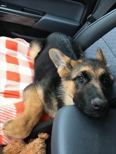 German shepherd puppy car rides, riding buddy