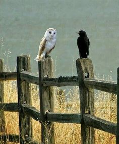 An Owl and a Crow Sitting on the Fence Posts.