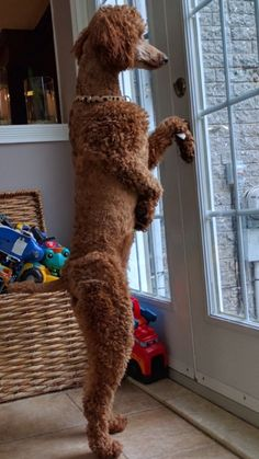 Standard Poodle , who's outside ? Bella