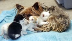 Yorkshire terrier adopts a litter of kittens!